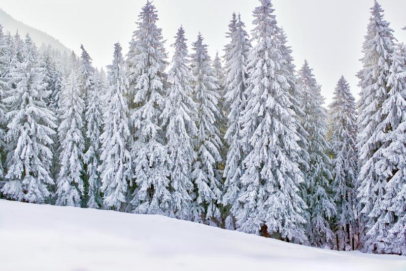 Winter wonderland with snowy trees and mountains royalty free stock image