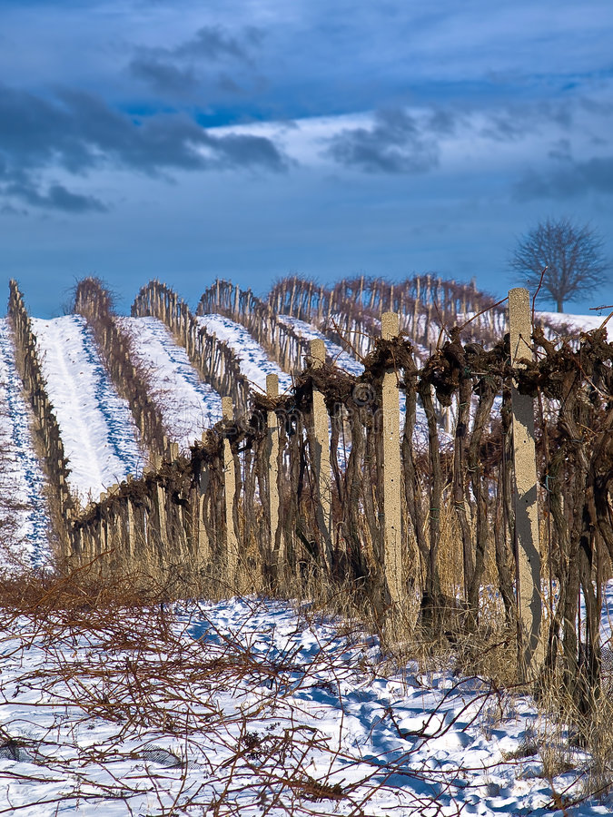 Download Winter work in vineyard stock photo. Image of backgrounds - 8063440