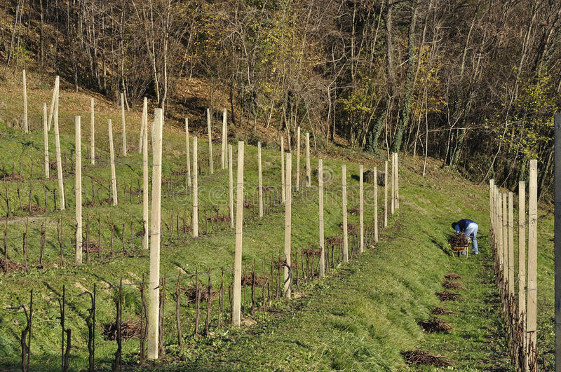 Winter work in vineyard, lombardy. Pruning vine on a hilly vineyard of merlot, shot in bright winter light royalty free stock images