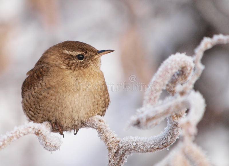 Winter Wren. Photo taken in a very cold winter morning (January 5th 2010), in the sunrise light