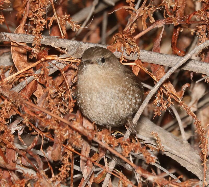 694- WINTER WREN (12-17-2016) patagonia lake, santa cruz co, az -01 stock image