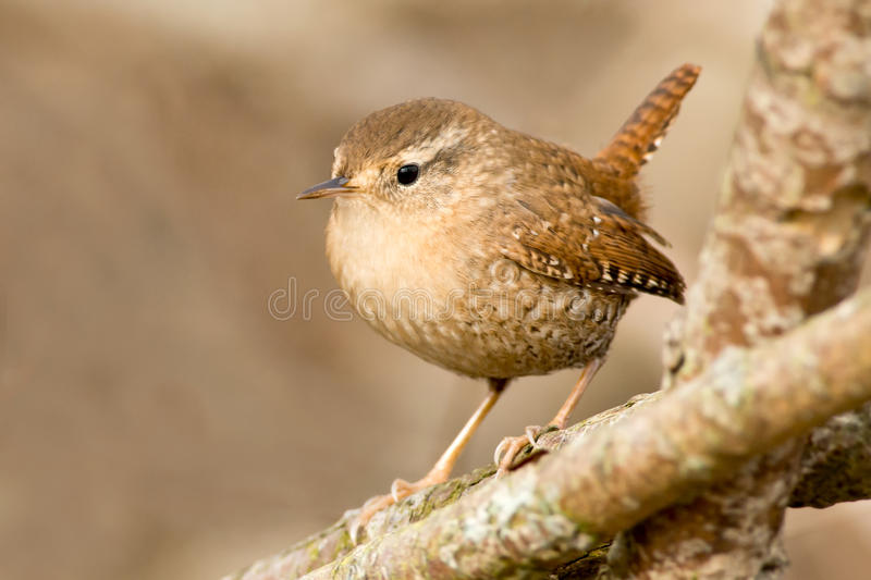 Winter Wren. Perched on a branch royalty free stock photos