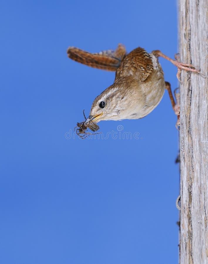 Download Winter wren. stock photo. Image of winter, bird, insectivore - 31368738