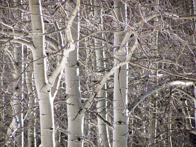 Winteraspen-Bäume lizenzfreies stockbild