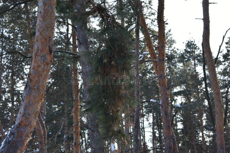 Winterbaumkiefer stockfoto