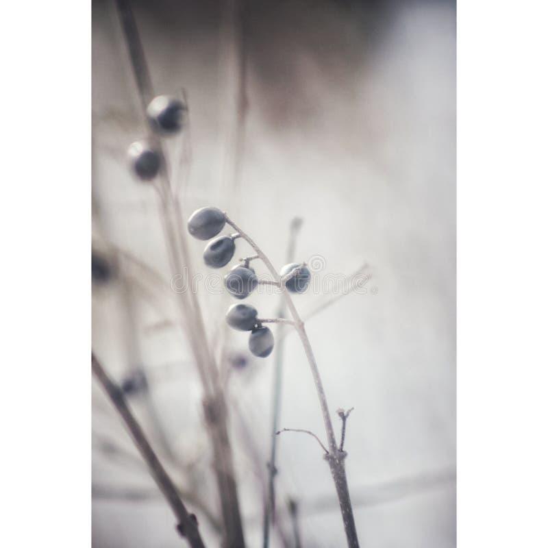 Winterberries fotos de archivo libres de regalías