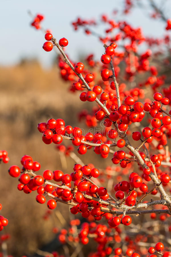 Winterberry royalty free stock photos