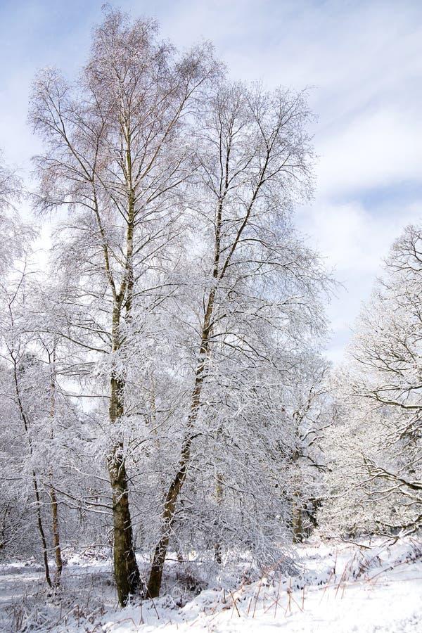 Winterbirke stockfoto