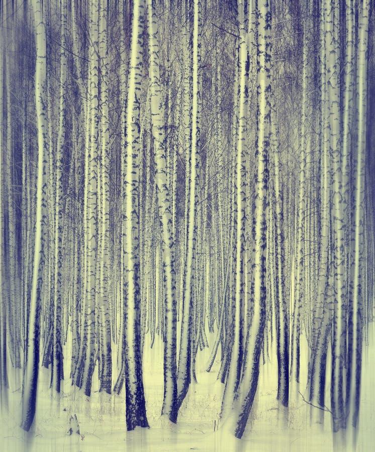 Winterbirkenwald stockfotos