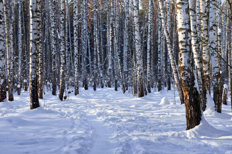 Winterbirkenwaldung stockfoto
