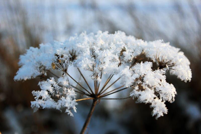 Winterblume lizenzfreie stockfotos