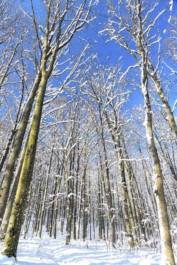 Winterbuchenwald in den Karpatenbergen 2019 lizenzfreies stockfoto
