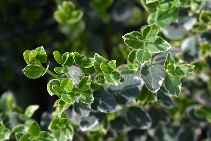 Wintercreeper Emerald Gaiety. Latin name - Euonymus fortunei Emerald Gaiety royalty free stock photography