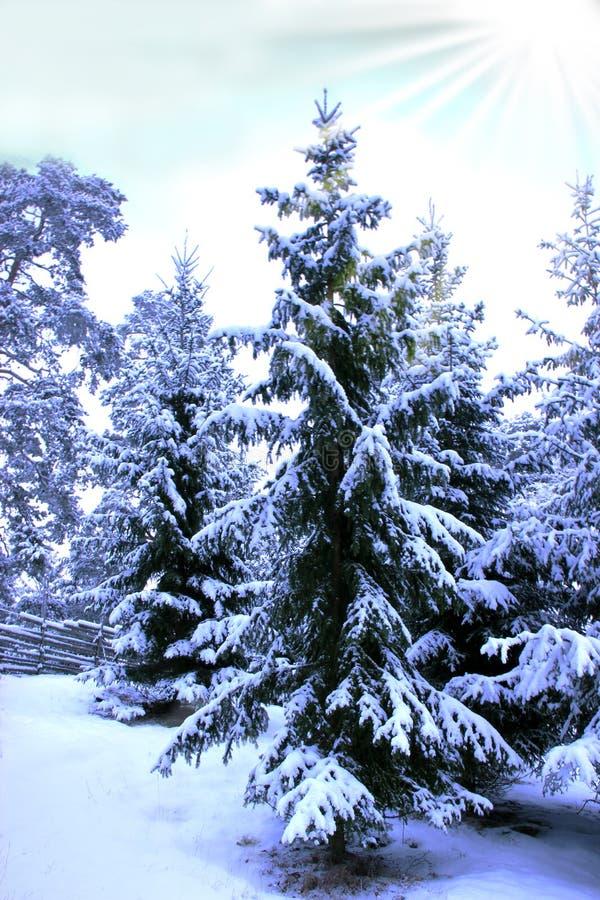 Winterday ensoleillé et sapins avec la neige photos stock
