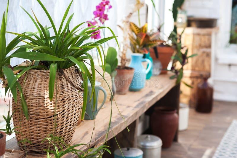 Wintergarden с сериями заводов Космос в доме для релаксации с цветками Садовничать, веранда в деревенском стоковое фото rf