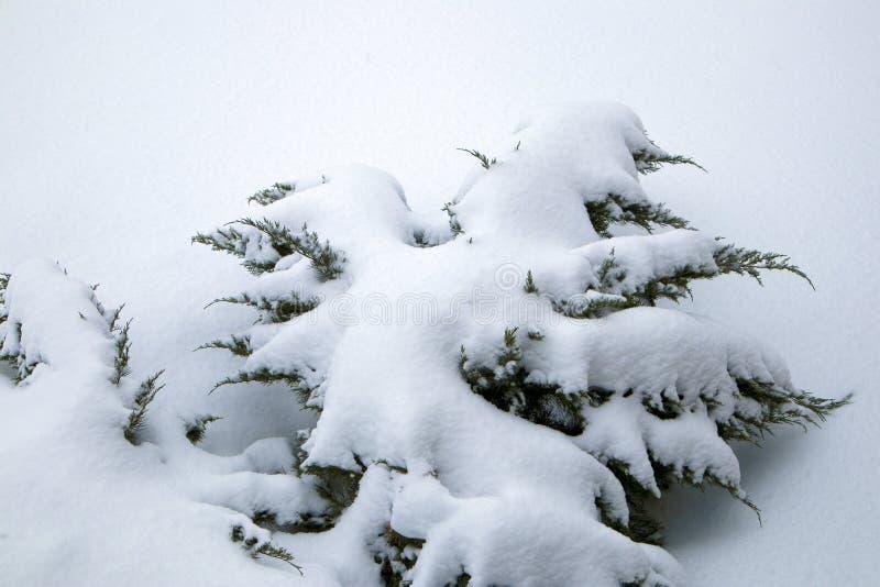 Wintergarden, marznąć tuj gałąź zakrywać z śniegiem fotografia royalty free