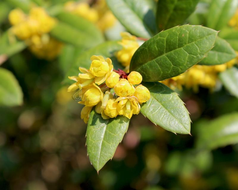 Wintergreen Barberry royalty free stock photos