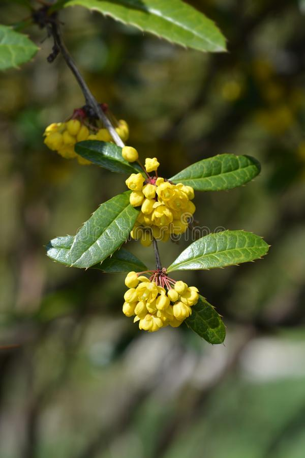 Wintergreen barberry royalty free stock photo
