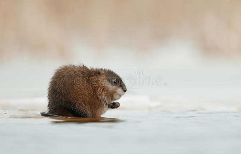 Wintering muskrat on the edge of the ice royalty free stock photos