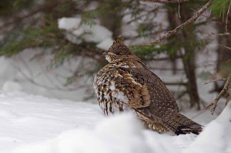 Wintering Ruffed grouse stock photo