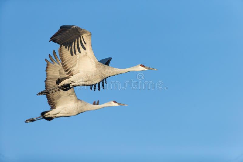 Wintering Sandhill Cranes. Sandhill cranes flying at Bosque del Apache National Wildlife Refuge in San Antonio New Mexico royalty free stock images