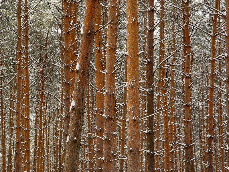 Winterkiefern. stockfotografie