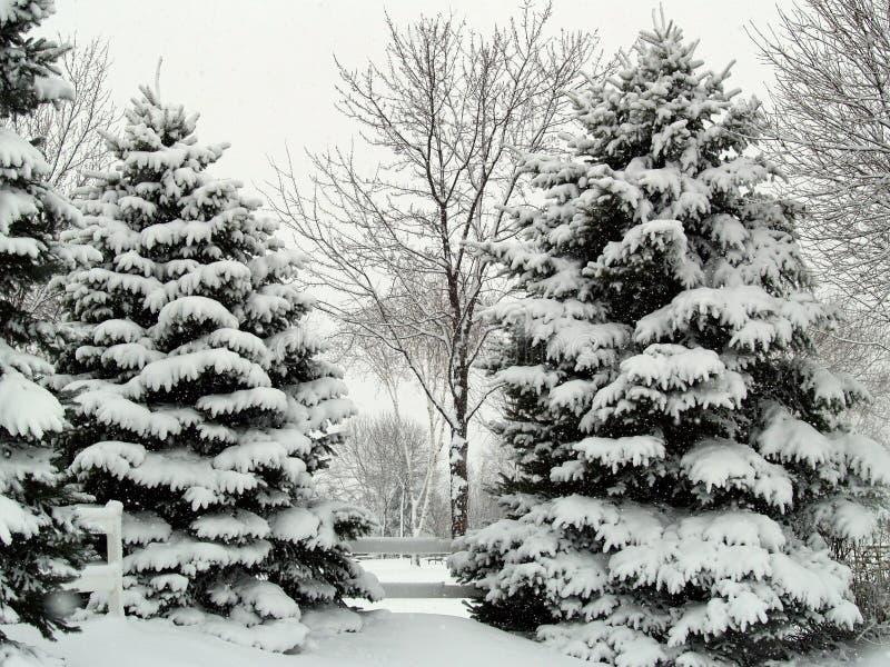 Winterkiefern lizenzfreies stockfoto