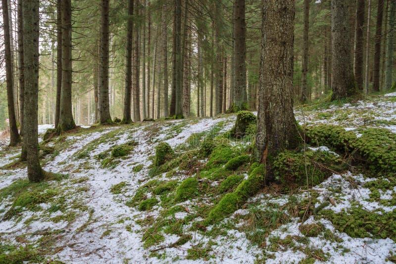 Winterkoniferenwald lizenzfreies stockfoto
