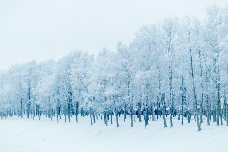 Winterlandschaft in den kalten Tönen - Reihe von eisigen Bäumen des Winters im Winterpark stockfoto