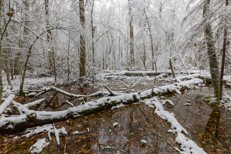 Winterlandschaft des Naturwalds mit toten Eichen lizenzfreie stockbilder