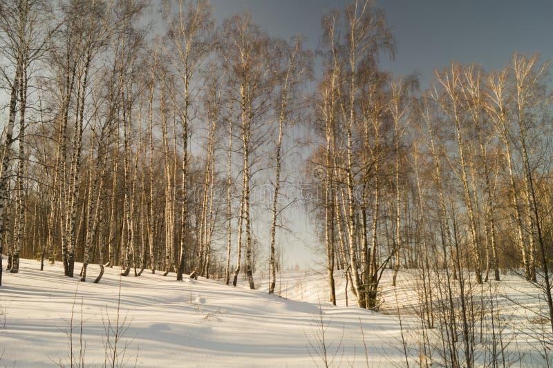 Winterlandschaft mit Birke durch Waldung stockbild