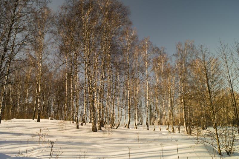 Winterlandschaft mit Birke durch Waldung stockbilder
