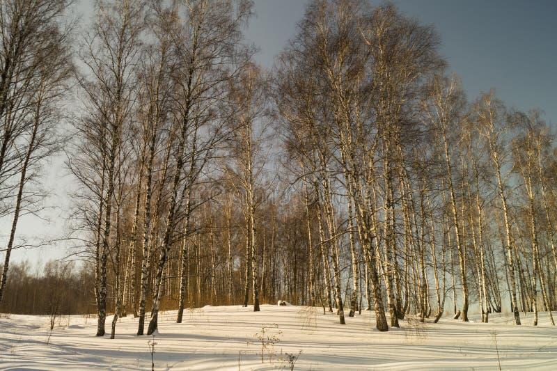 Winterlandschaft mit Birke durch Waldung stockfoto
