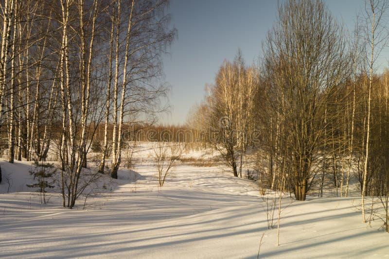 Winterlandschaft mit Birke durch Waldung stockfotografie