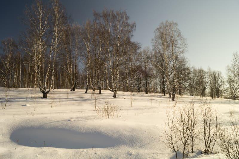 Winterlandschaft mit Birke durch Waldung lizenzfreie stockfotografie