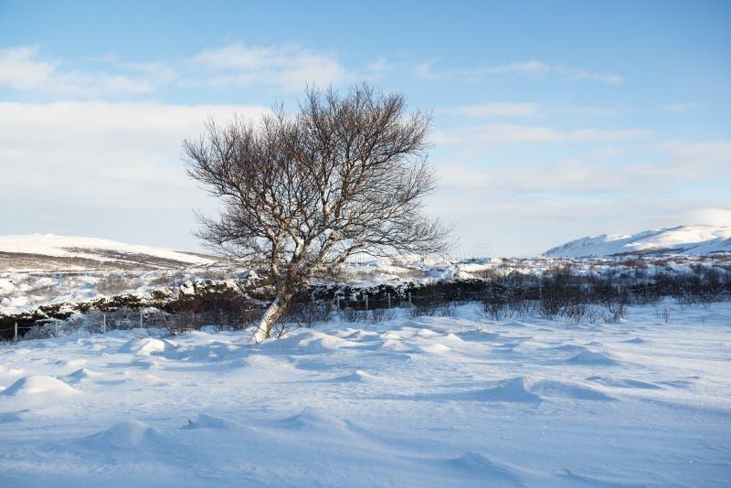 Winterlandschaft mit Schneedünen und einem einsamen Winterbaum, Island stockbild