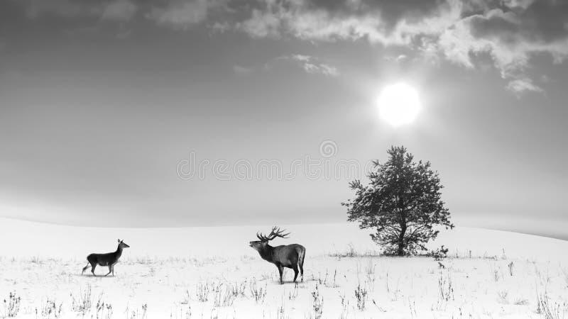 Winterlandschaftsschwarzweiss-Farbe Einsamer Baum und wilder Rotwildmann und weiblich auf einem schneebedeckten Gebiet lizenzfreie stockbilder
