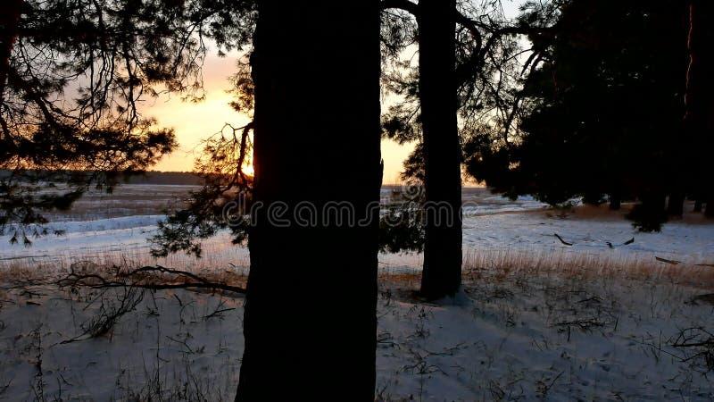 Winterlandschaftssonnenuntergang im Wald, fabelhafter Kiefernnaturwald, Weihnachtsbaum stockfoto