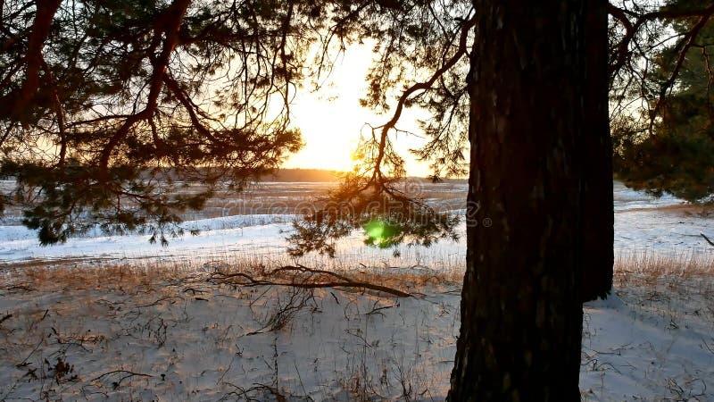 Winterlandschaftssonnenuntergang im Wald, fabelhafter Kiefernwald, Weihnachtsbaumnatur stockfotos