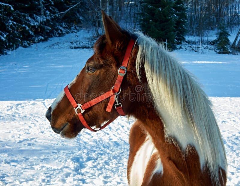 Winterpferd stockbilder