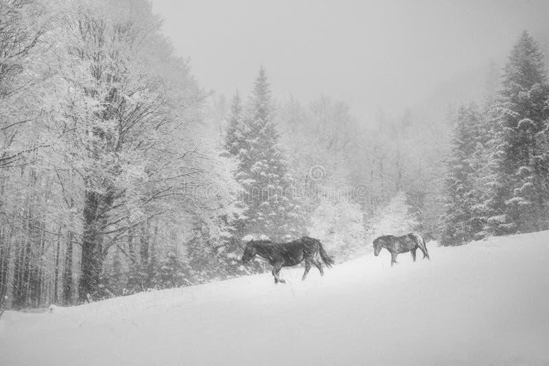Winterpferde auf Schnee, Bulgarien, Europa lizenzfreies stockbild
