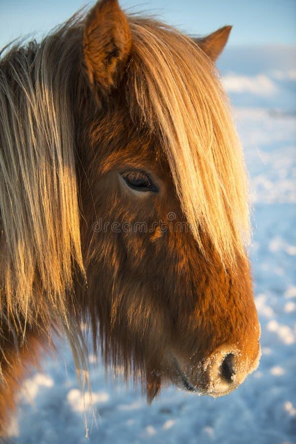Winterporträt des isländischen Pferds, Island lizenzfreie stockfotos