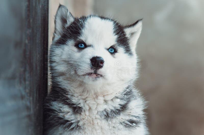 Winterporträt eines netten blauäugigen heiseren Welpen stockbild