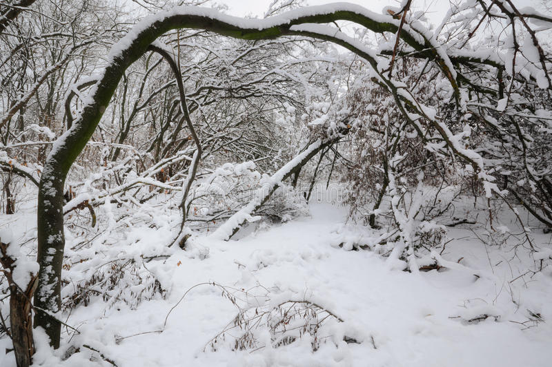 Winters forest. Tales winter trees on snow in ukraine stock photos