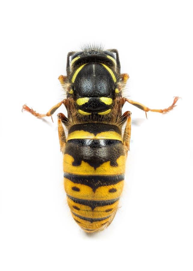 Winterschlaf haltenes Wespe oder yellowjacket lizenzfreie stockfotos