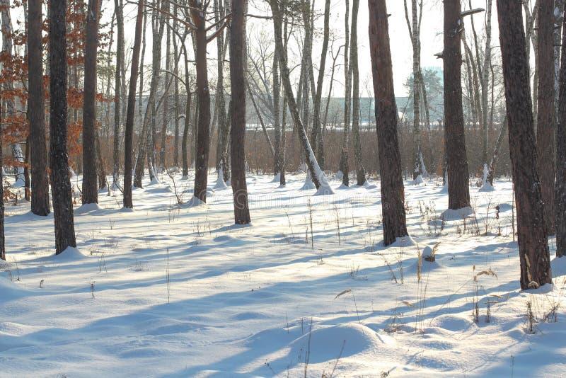 Winterschneesturm in einem Wald mit dem Wind, der die Schneeflocken durch die Bäume durchbrennt Wurzeln von Bäumen im Schnee lizenzfreies stockbild