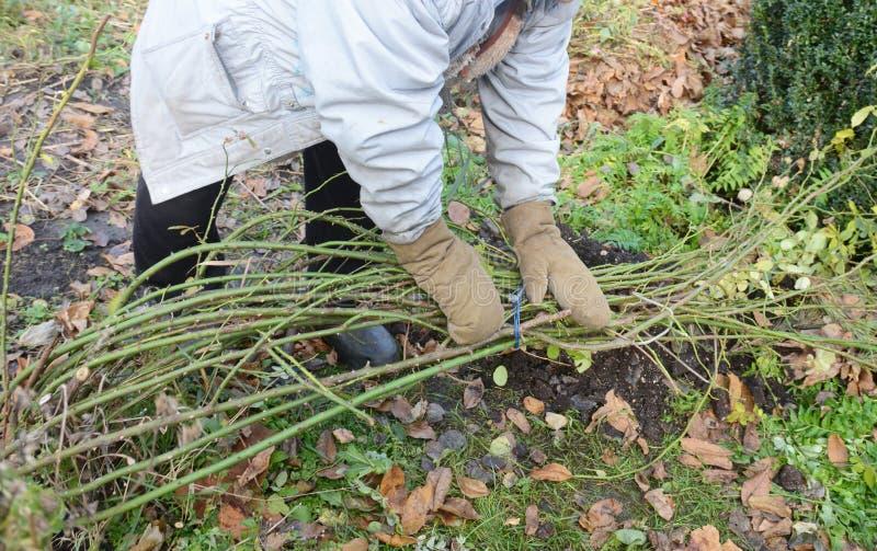 Winterschutz für Gartenrosen Bush Bereiten Sie Kletterrosen auf, um für Winterunterkünfte zu sorgen lizenzfreie stockbilder