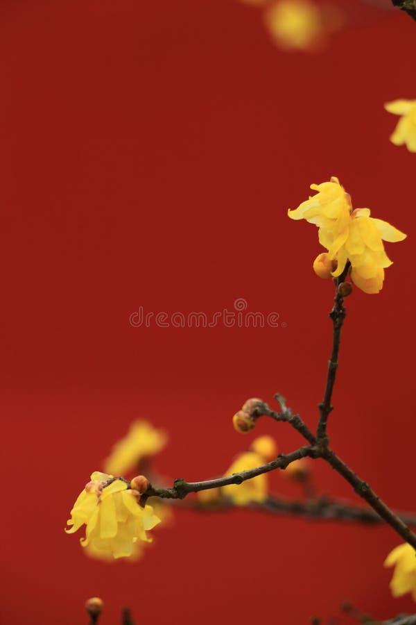 Wintersweet-Blume stockfotos
