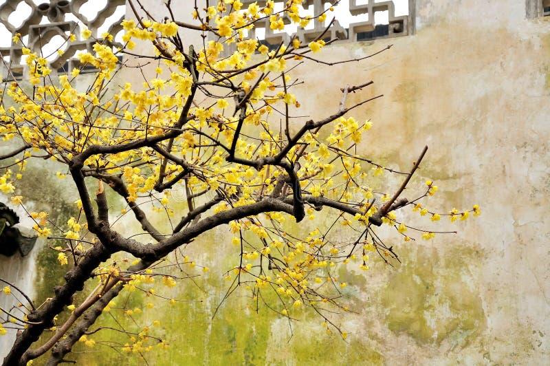 Wintersweet dans le jardin de l'administrateur humble photos stock