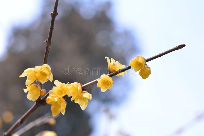 Wintersweet Flower royalty free stock image